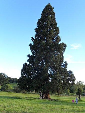 Huge tree in Burghley Park