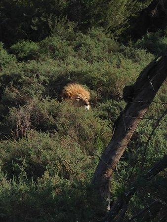 Kuzuko Lodge : We found the lions!