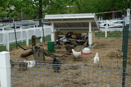 Lincoln Park Zoo : Farm: Hens