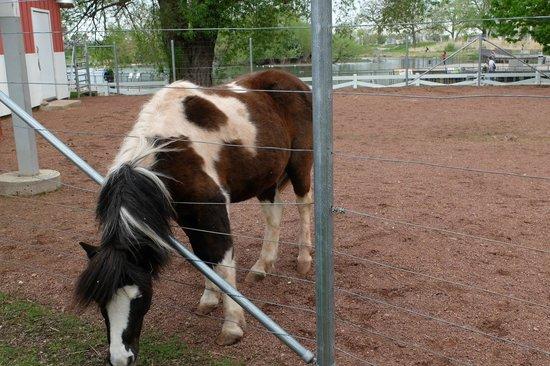 Lincoln Park Zoo : Farm: Pony