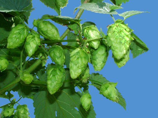 Hop'n Blueberry Farm: Cascade hop cones ready for harvest to local breweries