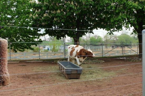 Lincoln Park Zoo : Farm: Cow
