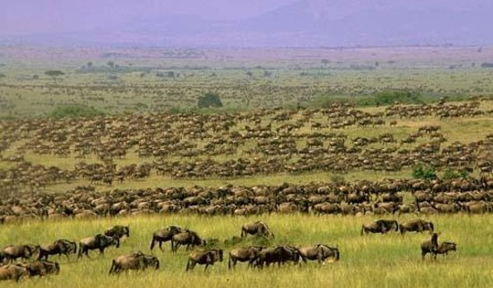 Seronera: Wildebeest Migration in Serengeti Plains