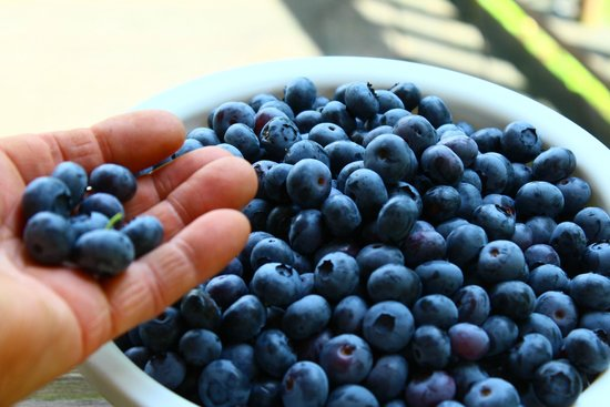 Hop'n Blueberry Farm: Blueberries are an added bonus in June