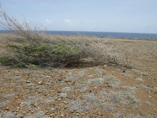 Shete Boka National Park : Shrub flattened by the trade wind