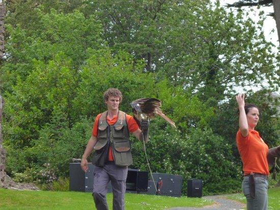 Laugharne Castle: The Falcons