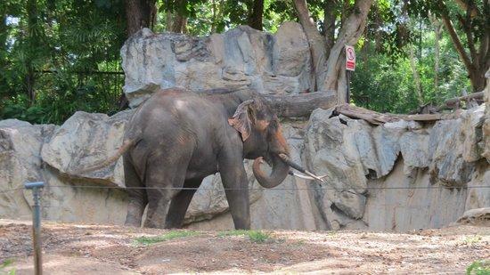 Chiang Mai Zoo: elefante1