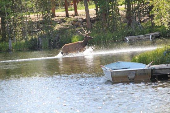 Moose Lake Lodge, LLC : elk in the lake