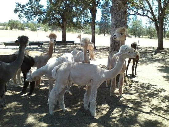 Alpacas at Lone Ranch