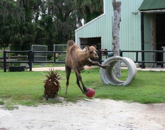 Central Florida Zoo U0026 Botanical Gardens: Meet Sir Gus The Camel