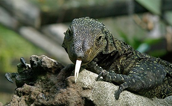 Central Florida Zoo U0026 Botanical Gardens: Croc Monitor