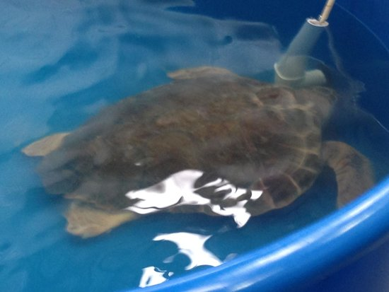 The Karen Beasley Sea Turtle Rescue and Rehabilitation Center : Turtle in rehab