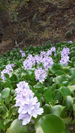 Madeira Botanical Garden : massif fleur de madere