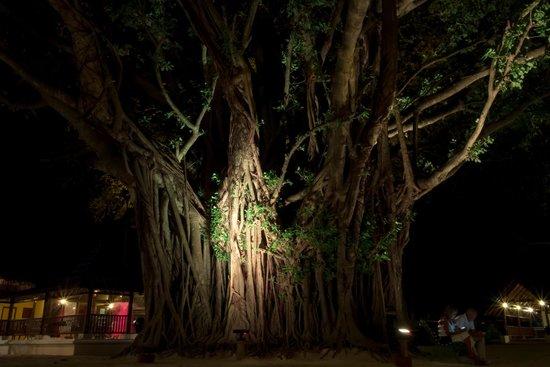 Club Med Kani : 島の中央にそびえ立つパニヤンツリー