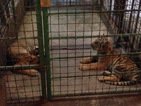 Zoobic Safari: Tiger cubs
