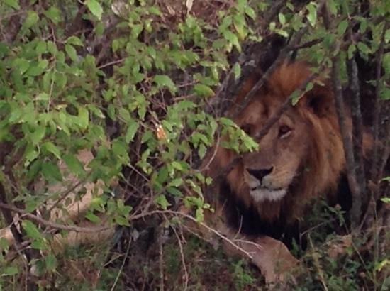 Olare Mara Kempinski Masai Mara: одинокий старый лев