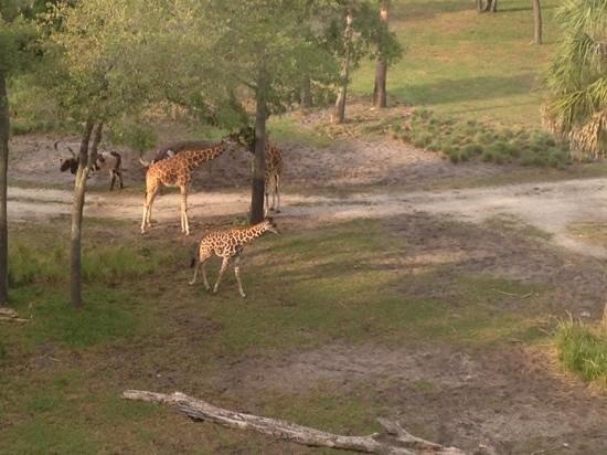 Disney's Animal Kingdom Villas - Kidani Village: view from our deck