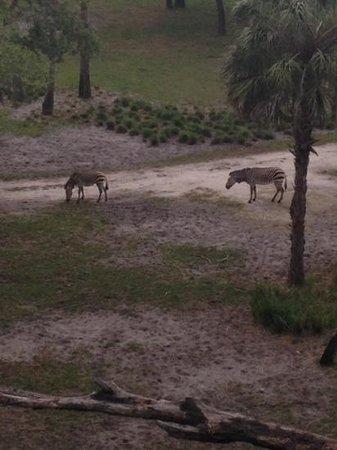 Disney's Animal Kingdom Villas - Kidani Village: zebras from our deck