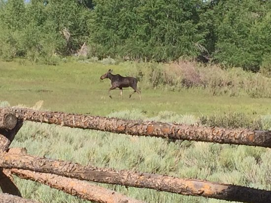 The Lodge and Spa at Brush Creek Ranch: Moose on the Loose