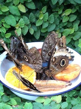 Straffan Butterfly Farm: Butterflies feeding on fruit