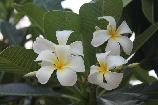 Chaweng Regent Beach Resort: Typical Flowers around Grounds