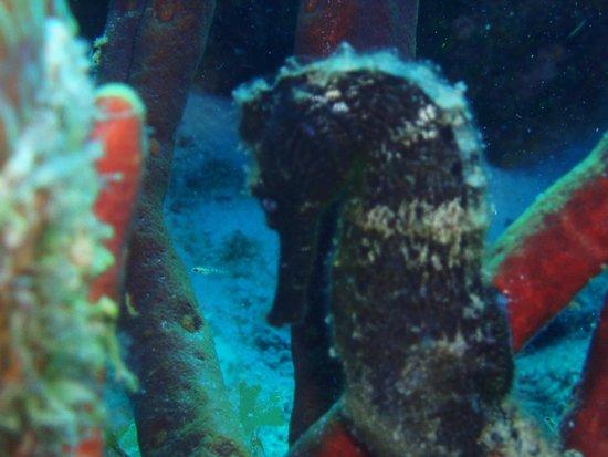 Dive Friends Bonaire: Seahorse