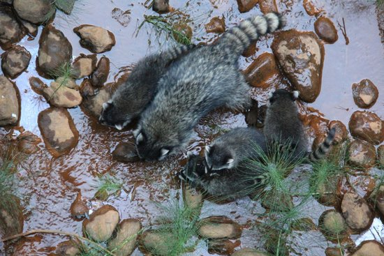 Mountain Retreat Resort, a VRI resort: Raccoon in Creek by room
