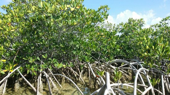 Florida Keys Kayaks and Eco Tours : Mangroves!