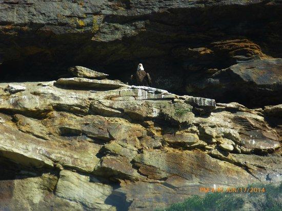 Bird Island Boat Tour: Bald Eagle