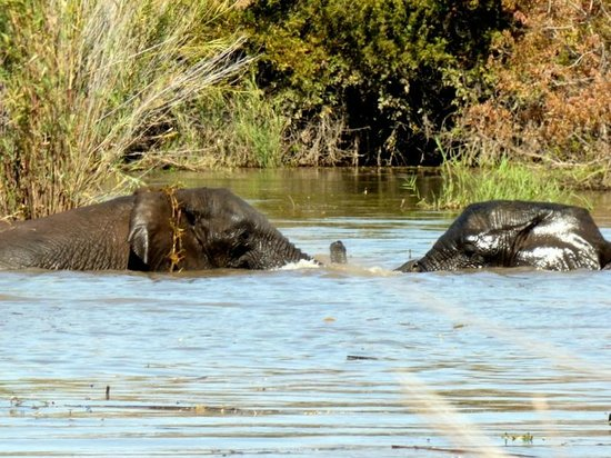 Marataba Safari Lodge : River Cruise - bathing elephants
