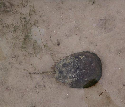 Cape San Blas: horseshoe crab