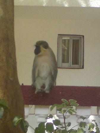 Vervet monkey at Badala park.