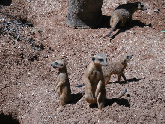 Brevard Zoo : Meerkats