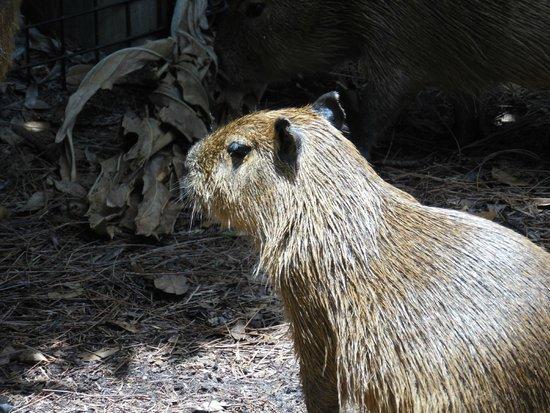 Brevard Zoo: Capybara
