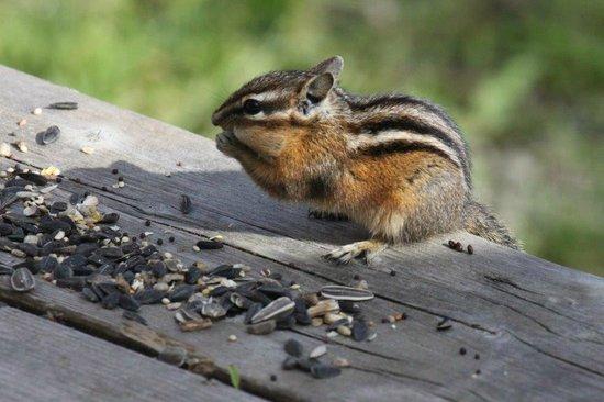 Johnson Lake Resort: Chipmunks always come 'round, begging for a treat