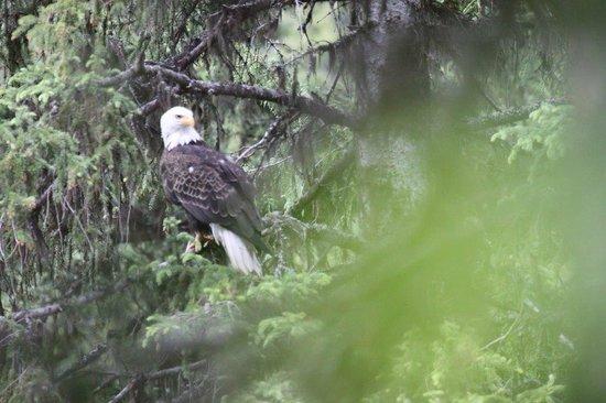 Johnson Lake Resort: Bald eagles nestle in the trees