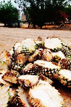 Tequila Tours: Agave azul
