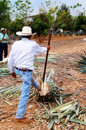 Tequila Tours: Como cortar o agave