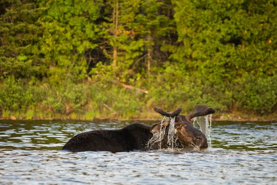 Northeast Whitewater - Day Tours : Moose!