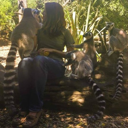 Willowbank Wildlife Reserve: Lemur encounter