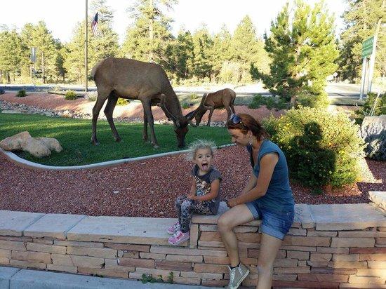 Best Western Premier Grand Canyon Squire Inn : Alci nel parcheggio :)