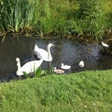 Hever Castle & Gardens: Family of Swans on the River
