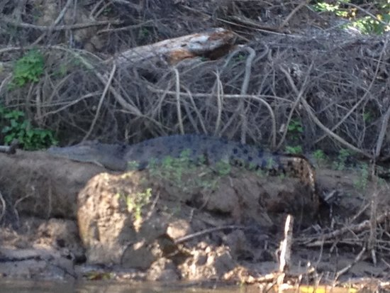 Bruce Belcher's Daintree River Cruises: The 1st croc we saw in the river cruise!