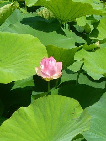 Jardins des Martels : lotus