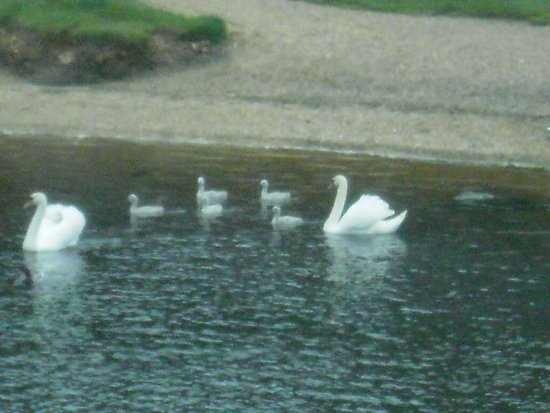 Captain's Club Hotel: swans on the river
