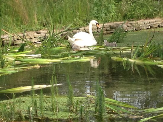 Lords of the Manor Hotel: Swans in the garden pond