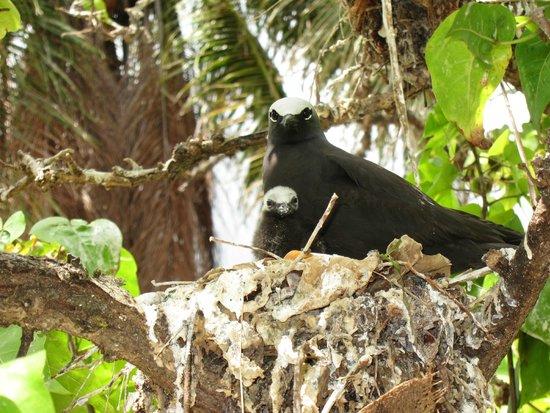 Cocos Island, หมู่เกาะมาเรียนา: BLACK NODDY ADULT WITH JUVENILE
