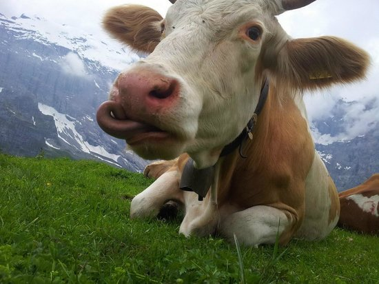 Hotel Mittaghorn: Yes its a cow