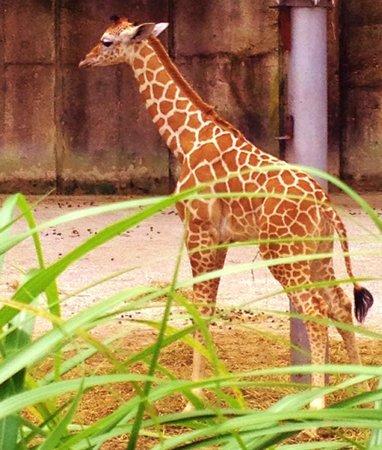 Memphis Zoo: Newest member of the giraffe family