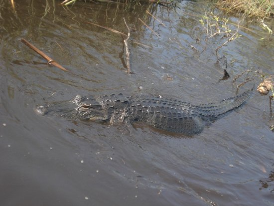 Buffalo Tiger's Airboat Tours: alligator mum